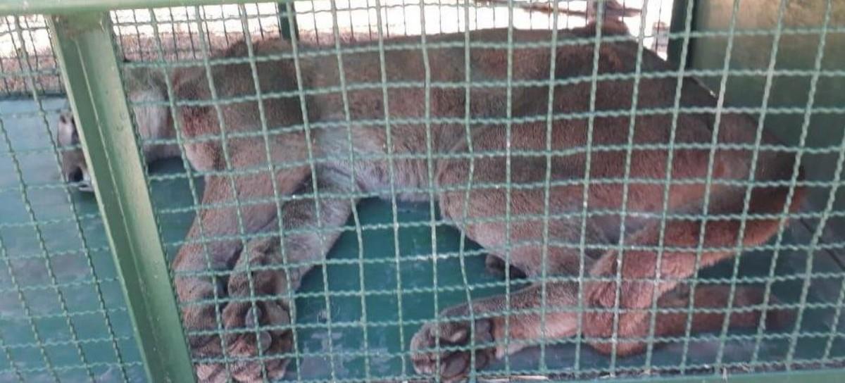 Pinamar: Atraparon a un Puma que había aparecido en la localidad de Ostende