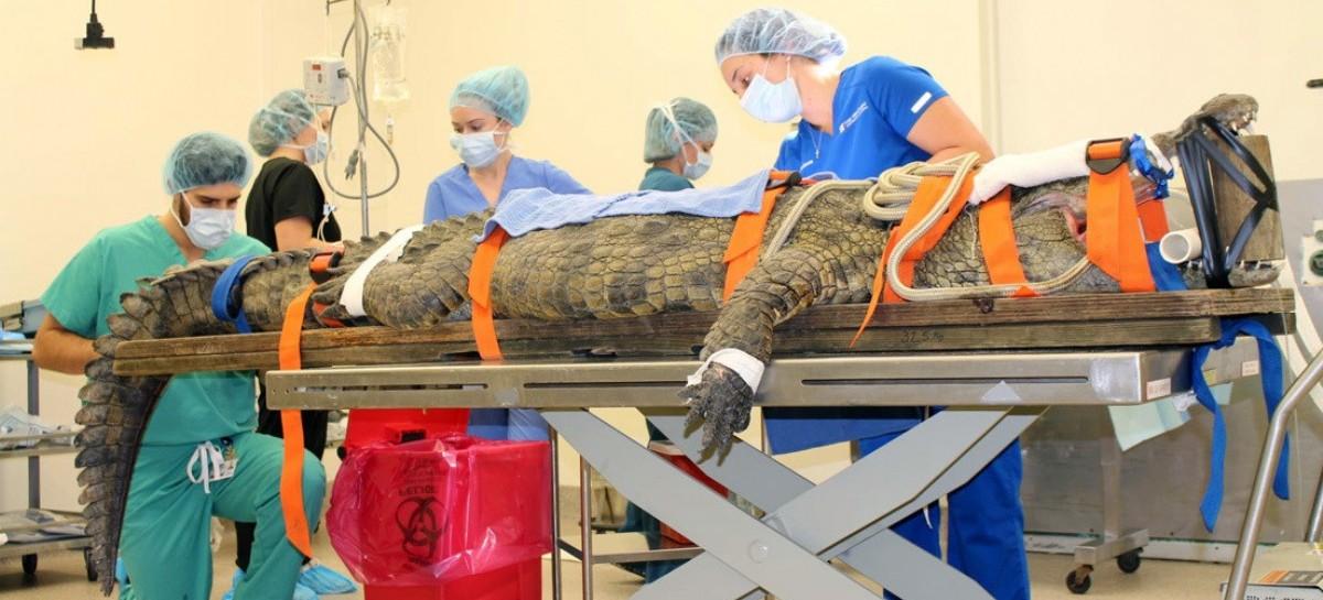 Llevaron a un cocodrilo al quirófano para quitarle un zapato del estómago