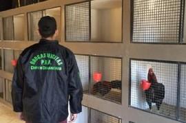 "Lo de la serie ""Un gallo para Esculapio"" era verdad: rescataron 378 aves que utilizaban para riñas"